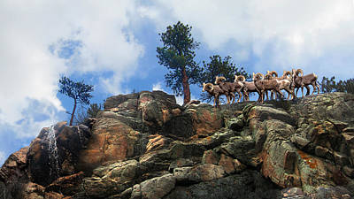 Photograph - Rocky Mountain Big Horn Herd by Ric Soulen