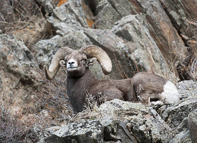 Ram Horn Photograph - Rocky Mountain Big Horn Ram On Watch II by Gary Langley