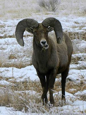 Photograph - Rocky Mountain Big Horn Sheep 2 by Michelle Frizzell-Thompson