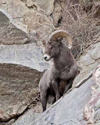 Ram Horn Photograph - Rocky Mountain Big Horn Sheep Ram by Gary Langley