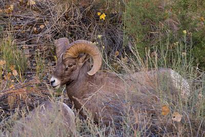 Photograph - Rocky Mountain Bighorn Ram by Kathleen Bishop