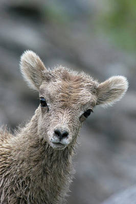 Rocky Mountain Sheep Photograph - Rocky Mountain Bighorn Sheep Lamb by Ken Archer