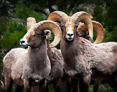 Photograph - Rocky Mountain Bighorn Sheep Rams In Colorado by Julie Magers Soulen