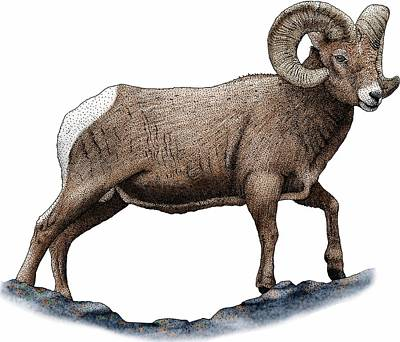 Photograph - Rocky Mountain Bighorn Sheep by Roger Hall