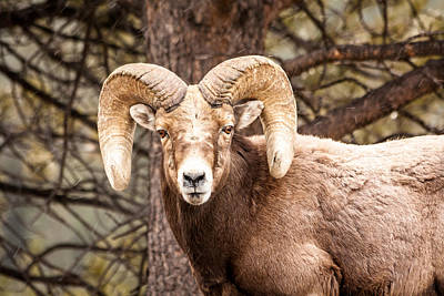 Photograph - Rocky Mountain Bighorn Sheep by Teri Virbickis
