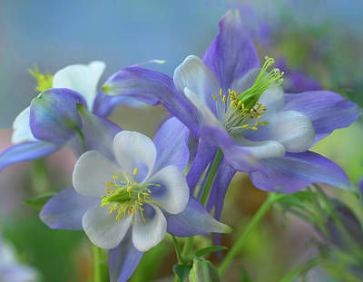 Rocky Mountain Columbine, Colorado, Usa Art Print