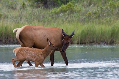 Rocky Mountain Wildlife Photograph - Rocky Mountain Cow Elk And Calf by Ken Archer