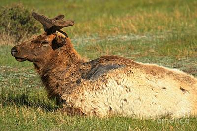 Photograph - Rocky Mountain Elk At Rest by Adam Jewell