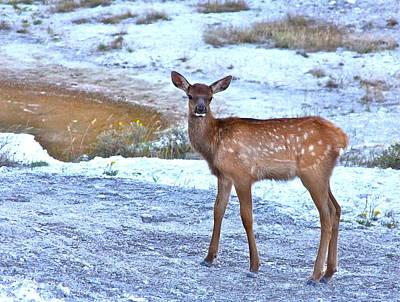 Photograph - Rocky Mountain Elk Calf by Karon Melillo DeVega