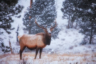 Photograph - Rocky Mountain Elk by Darren  White