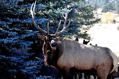 Photograph - Rocky Mountain Elk - Flehmen Response by Marilyn Burton