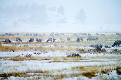 Steven Krull Royalty-Free and Rights-Managed Images - Rocky Mountain Elk Herd by Steven Krull