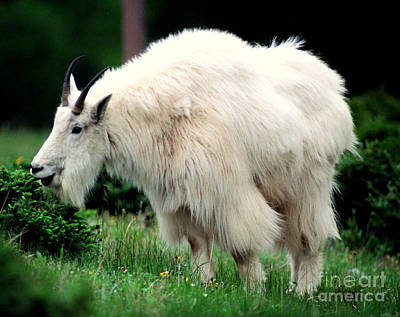Photograph - Rocky Mountain Goat Eating by Terry Elniski