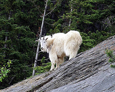Photograph - Rocky Mountain Goat by George Cousins