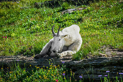 Ledge Photograph - Rocky Mountain Goat Glacier National Park Painted  by Rich Franco