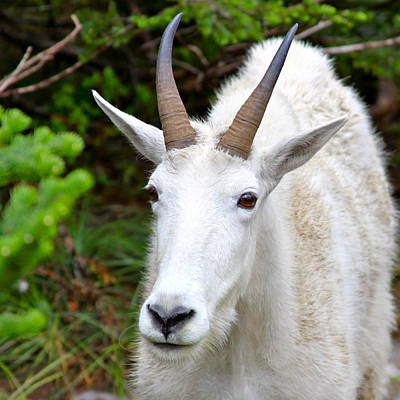 Photograph - Rocky Mountain Goat by Karon Melillo DeVega