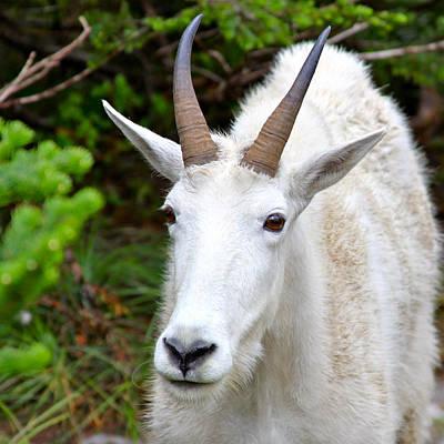 Rocky Mountain Goat Photograph - Rocky Mountain Goat by Karon Melillo DeVega