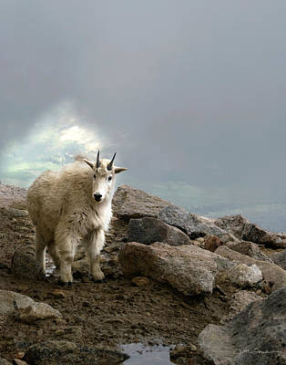 Mountain Goat Photograph - Rocky Mountain Goat Kid In Colorado by Julie Magers Soulen
