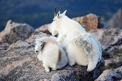 Photograph - Rocky Mountain Goat by OLena Art Brand