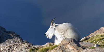 Rocky Mountain Goat Photograph - Rocky Mountain Goat Resting by Gary Langley