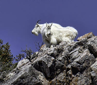 Photograph - Rocky Mountain Goats by Susi Stroud