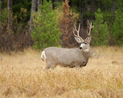 Rocky Mountain Mule Deer Buck Art Print