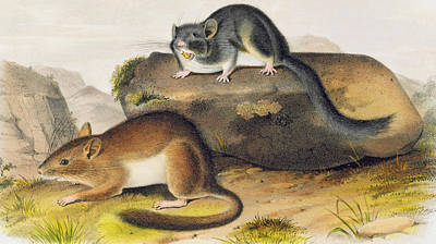 Weasel Painting - Rocky Mountain Neotoma by John James Audubon