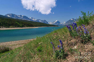 Photograph - Rocky Mountain Penstemon Guards The Shore Of Lake Sherburne by Charles Kozierok