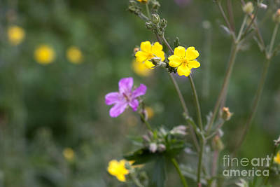 Photograph - Rocky Mountain Wildflowers by Cindy Singleton