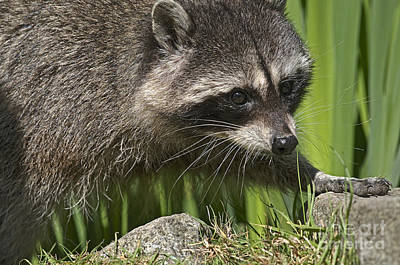 Raccoon Photograph - Rocky Raccoon by Sharon Talson
