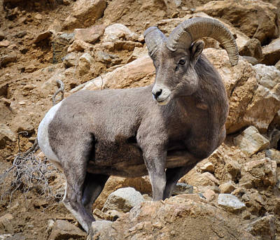 Photograph - Rocky Ram by Kevin Munro