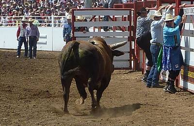 Photograph - Rodeo Time Bull Coming by Susan Garren