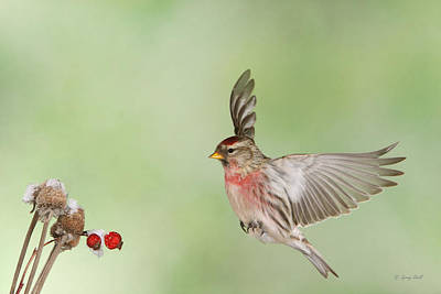 Photograph - Rodney The Redpoll by Gerry Sibell