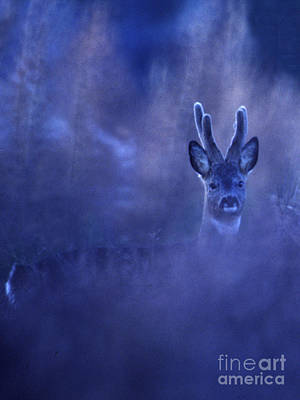 Photograph - Roe Buck - Velvet by Phil Banks