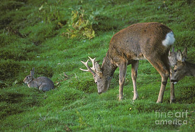 Photograph - Roe Deer And Rabbits by Phil Banks