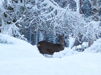 Photograph - Roe Deer In Snow by Phil Banks