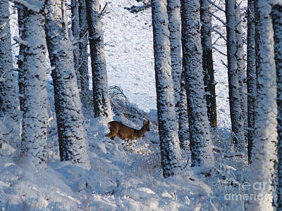 Photograph - Roe Deer In Woodland Snow by Phil Banks