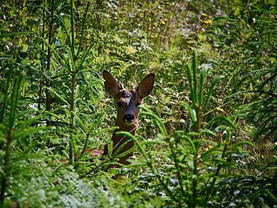 Photograph - Roe Deer by Jouko Lehto