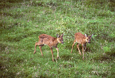 Photograph - Roe Deer - Twin Fawns  by Phil Banks