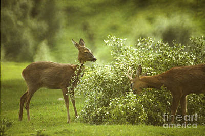 Photograph - Roe Doe And Buck Browsing by Phil Banks