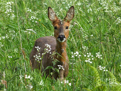 Photograph - Roe Doe Early Summer by Phil Banks