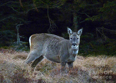 Photograph - Roe Doe - Forest Edge by Phil Banks