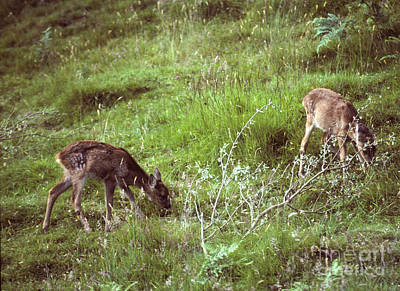Photograph - Roe Fawns Browsing by Phil Banks