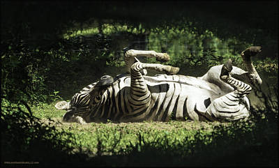 Photograph - Rolling Zebra by LeeAnn McLaneGoetz McLaneGoetzStudioLLCcom