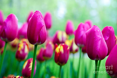 Tulip Photograph - Romantic Pink Flowers In Spring by Michal Bednarek