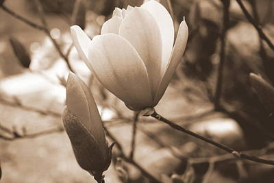 Photograph - Romantic Vintage Magnolia by Kay Novy