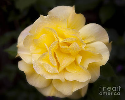 Photograph - Romantic Yellow Rose Flower With Dew Drops by Jerry Cowart