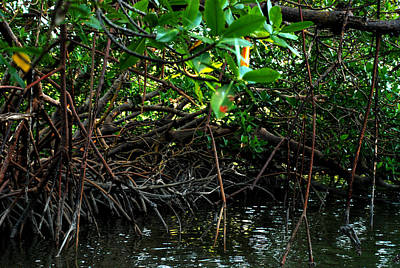 Photograph - Rookery Bay Mangroves 01 by Carol Kay