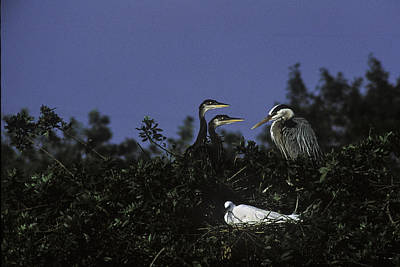 Photograph - Rookery by Curtis Dale