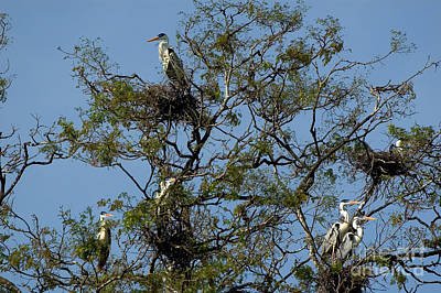 Heron Photograph - Rookery Of Cocoi Herons by Gregory G. Dimijian, M.D.